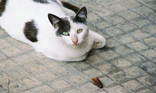 Zdjecie MAROKO / - / Casablanca / Kot ze zdobyczą
