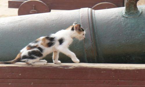 Zdjecie MAROKO / - / Essawira / Wszędobylskie kotki