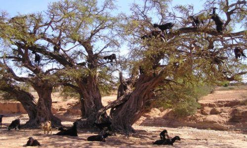 Zdjecie MAROKO / Południowy region kraju / Obszar drzew arganiowych / Kozy ucztujące  na drzewach