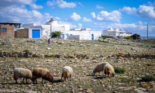 Zdjecie MAROKO / Maroko / - / owce