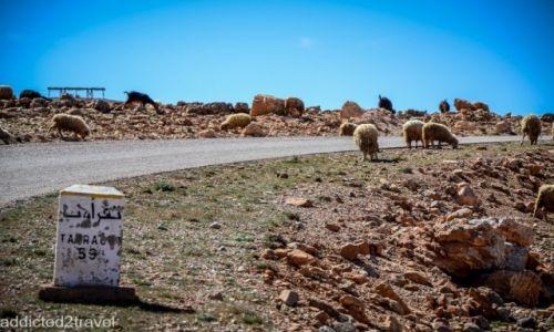Zdjęcie MAROKO / Maroko / - / owce