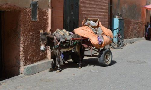 Zdjecie MAROKO / Ouarzazate / Ouarzazate / osiolek