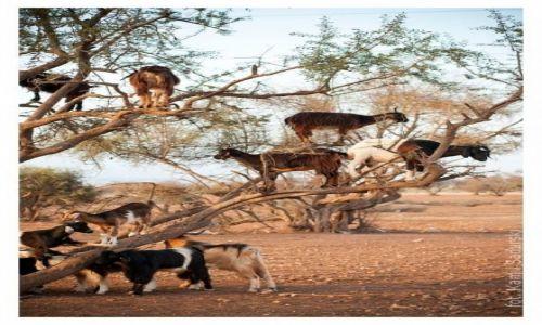 Zdjęcie MAROKO / Agadir / Agadir / Uczta kóz na drzewie arganowym.