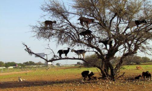 Zdjecie MAROKO / Agadir / Okolice Agadir / Kozy na drzewie arganowym