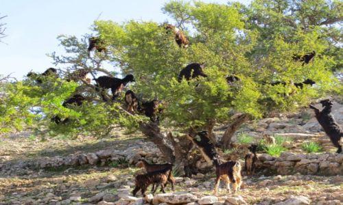 Zdjecie MAROKO / Taghazout / Taghazout / Kozy na drzewach arganowych