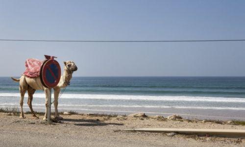 MAROKO / Taghazout / Taghazout / African Road Trip - wielbłądy