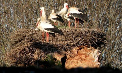 Zdjęcie MAROKO / Rabat  / ruiny Szalla / Rodzina bocianów