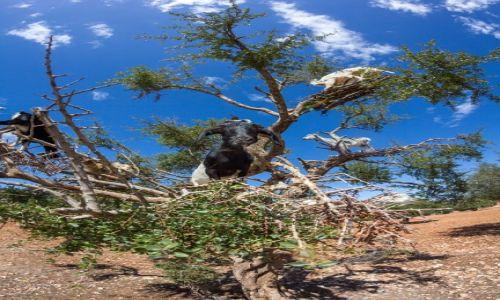 Zdjecie MAROKO / Wybrzeże atlantyckie / Ounaga / kopytne amatorki orzeszków arganowych