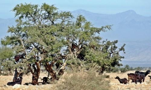 Zdjecie MAROKO / Atlas / okolice Taroudant / Kozy na drzewie