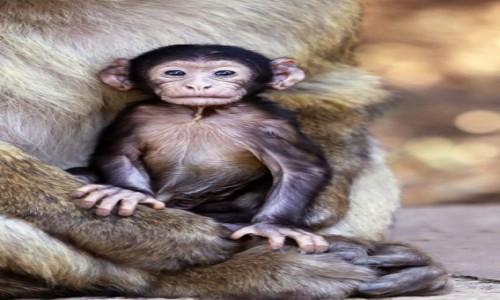 Zdjęcie MAROKO / Azrou / Cèdre Gouraud Forest / Monkey