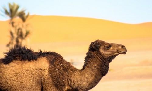 MAROKO / Maroko / Merzouga / Oaza, wielbłąd, pustynia, wydmy