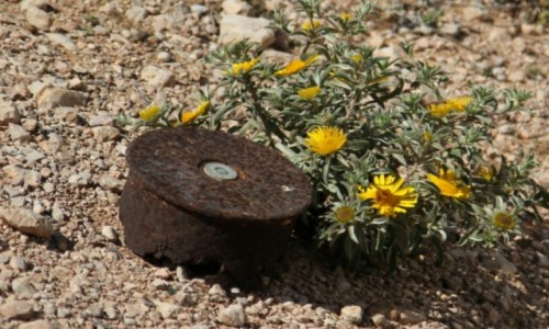 Zdjecie MAROKO / Sahara Zachodnia / Okolice Al-Ujun / Taki kwiatek