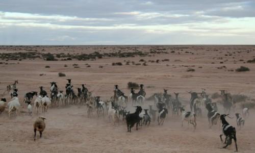 Zdjecie MAROKO / Sahara Zachodnia / Sahara Zachodnia / Stado