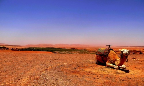 Zdjecie MAROKO / Sus-Massa-Dara / Ajt Bin Haddu / Samotny wielbłąd
