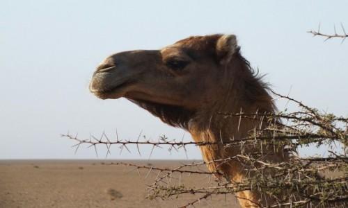 Zdjecie MAROKO / Sahara Zachodnia / Sahara  / Ukryty za akacją
