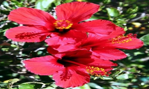 Zdjęcie MAROKO /  Atlas  / Quarzazate  / Kwiat hibiskusa
