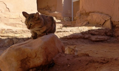 Zdjecie MAROKO / Maroko / Jedna z odwiedzanych kazb / Kotów nigdy za wiele