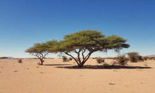 Zdjęcie MAROKO / Południe / gdzieś po drodze / Jest akacja, jest Afryka