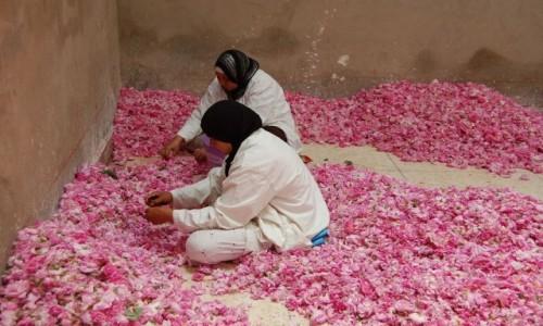 Zdjęcie MAROKO / Ouarzazate / Dolina Róż / Różane żniwa