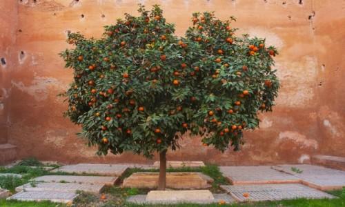 Zdjecie MAROKO / Marakesz / Medina / Samotne drzewo