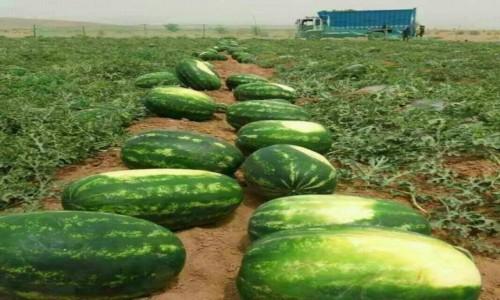Zdjęcie MAROKO / Dara Tafilalt / Ouarzazate / Sezon na arbuzy