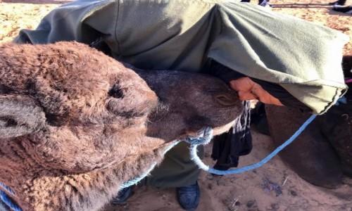 MAROKO / Sahara / Merzouga / Człowiek i wielbłąd