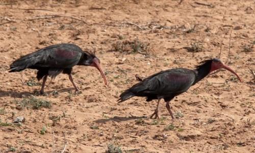 Zdjecie MAROKO / Souss-Massa / Tamri / Ostatnie ibisy