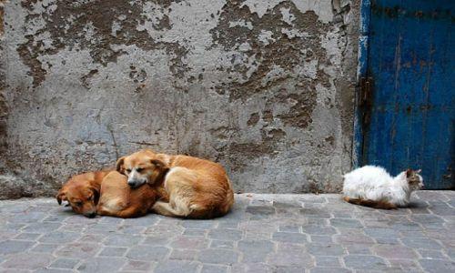 Zdjecie MAROKO / ocean / Essaouira- uliczka na starym miescie / psy i kot-to towarzystwo nie zaleznie od dzielących ich różnic czeka pod grillem na swój ochłap