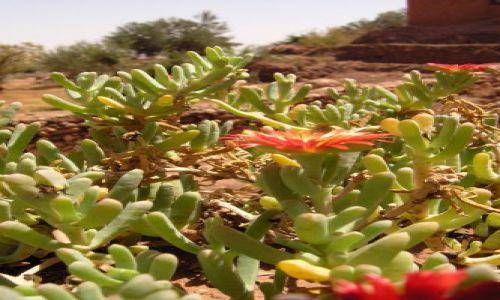Zdjecie MAROKO / brak / Sahara / kwiaty pustyni