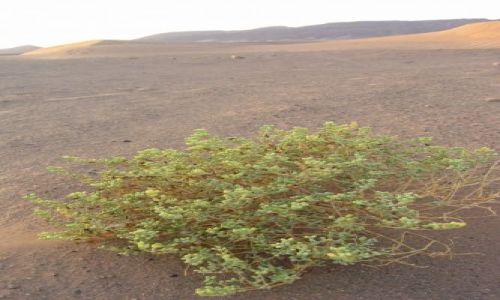 Zdjecie MAROKO / Sahara / Sahara / krzewy pustyni