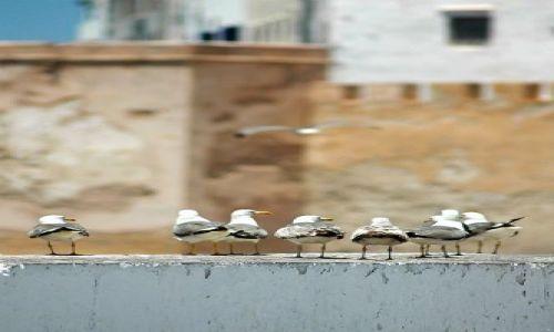 Zdjęcie MAROKO / nad Oceanem / Essauira / kupą mości panowie