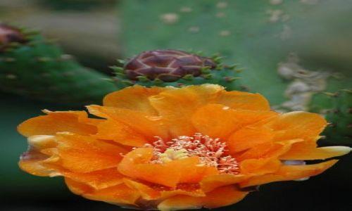 Zdjęcie MAROKO / Marakesz / Ogród YSL / Ogród YSL kwitnący kaktus