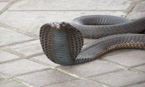 Zdjecie MAROKO / Marakesz / Dżamna al Fna / Bezzębna kobra dla turystów
