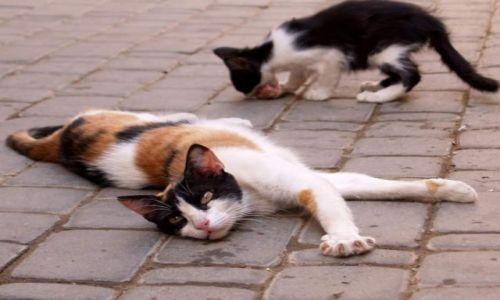 Zdjecie MAROKO / brak / Meknes / Leniwy marokański kotek