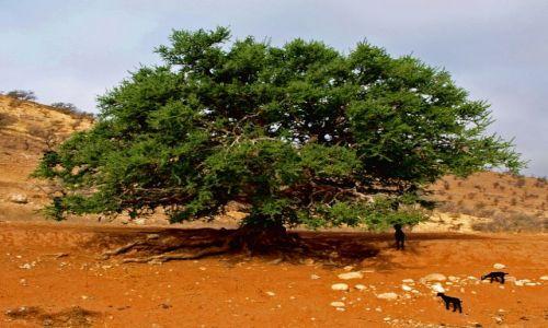 Zdjęcie MAROKO / brak / antyatlas / drzewo arganiowe , kozi przysmak