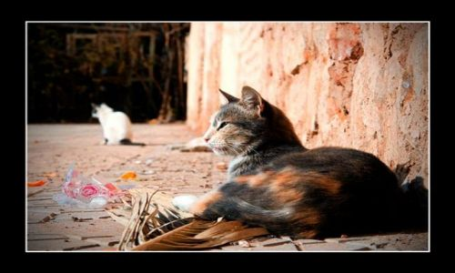 Zdjecie MAROKO / Marakesz / gdzieś  w okolicach Warrzazet / Marokańskie kot