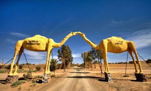 Zdjęcie MAROKO / brak / Merzoga / Całujące sie wielbłądy