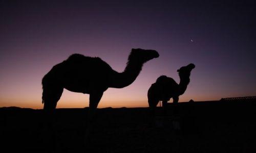 Zdjęcie MAROKO / brak / Merzoga / wielbłądy o poranku