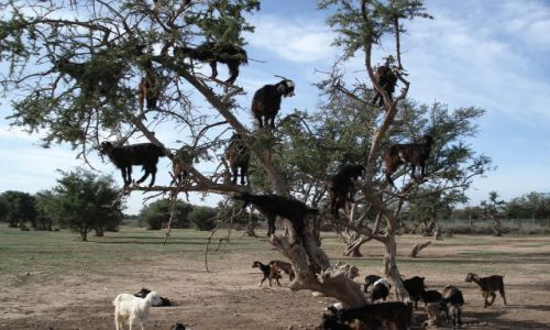 Zdjecie MAROKO / brak / Maroko środkowe / Kozy na drzewie
