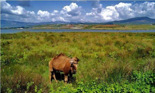 Zdjecie MAROKO / Maroko / w drodze: Ceuta-Tetouan / Krajobraz z wielbłądkiem
