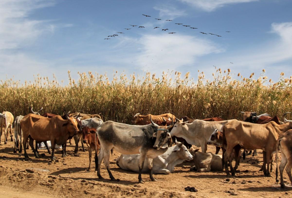 Zdjęcia: Diawling, delta rzeki Senegal, Garbate, MAURETANIA
