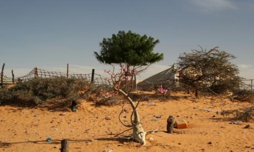 MAURETANIA / Sahel / Sahel / Kwiat pustyni