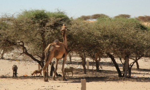 Zdjęcie MAURETANIA / Sahel / Sahel / Wioskowy cwaniak