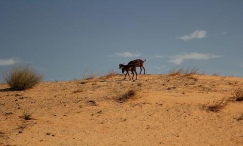Zdjecie MAURETANIA / Sahel / Sahel / Młode kózki