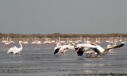 Zdjecie MAURETANIA / Wybrzeże Mauretanii / Park Narodowy Banc d'Arguin / Ptactwa dostatek