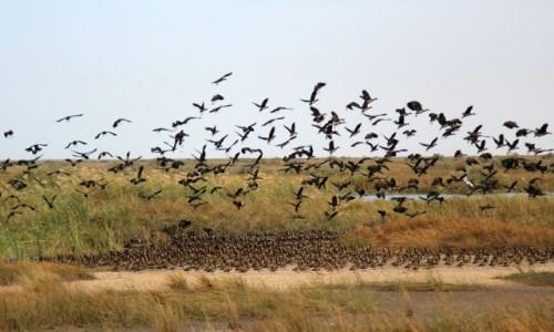 Zdjęcie MAURETANIA / Delta Senegalu /   Park Narodowy Diawling / Ptaki
