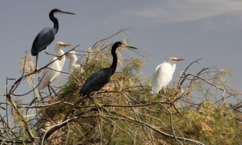 Zdjecie MAURETANIA / Delta rzeki Senegal / Park Narodowy Diawling. / Ptasiory