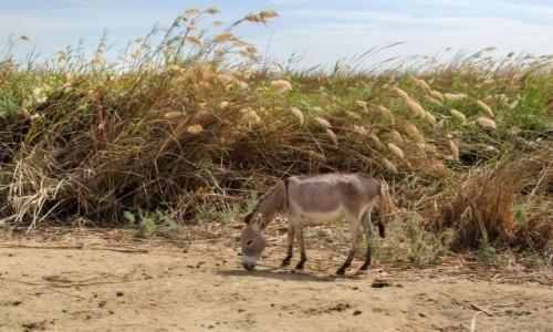 Zdjecie MAURETANIA / delta rzeki Senegal / Diawling / Osioł