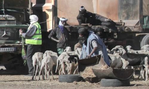 MAURETANIA / Nouakchott / gdzieś po drodze / Kozy