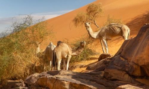 MAURETANIA / Tagant / gdzieś w piaskach pustyni / Wielbłądy na diecie